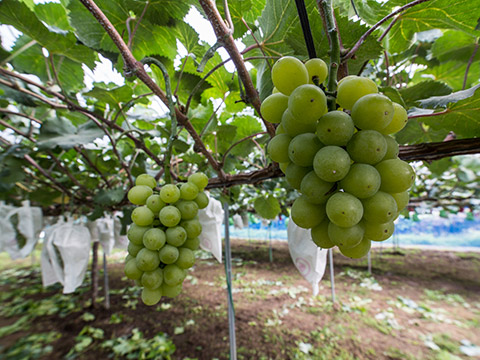 Akagi-oroshi Grape picking