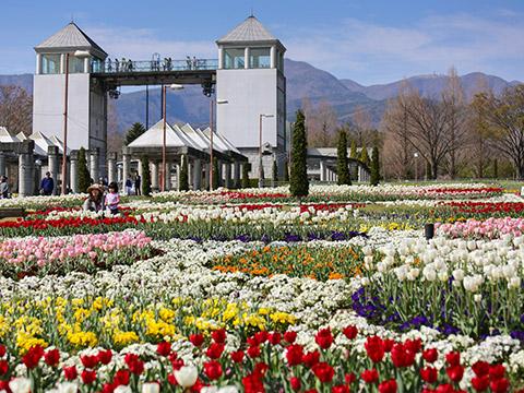 Green-flower farm Cherry Blossom Festival