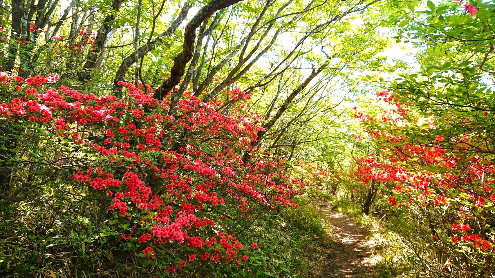 azaleas down both sides of a forest path near Arayama Kogen