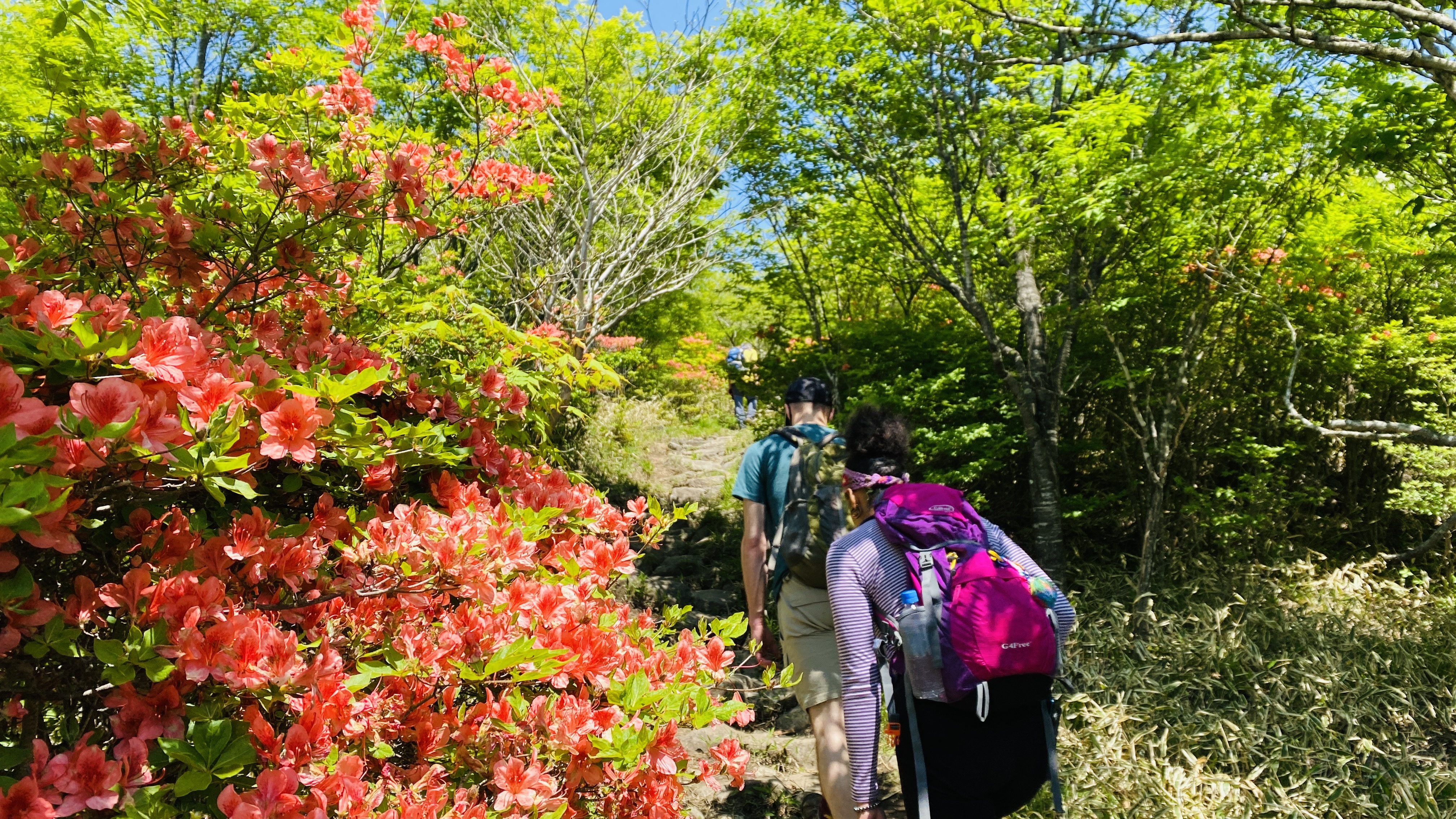 Hikers on a trail lined with pink azaleas