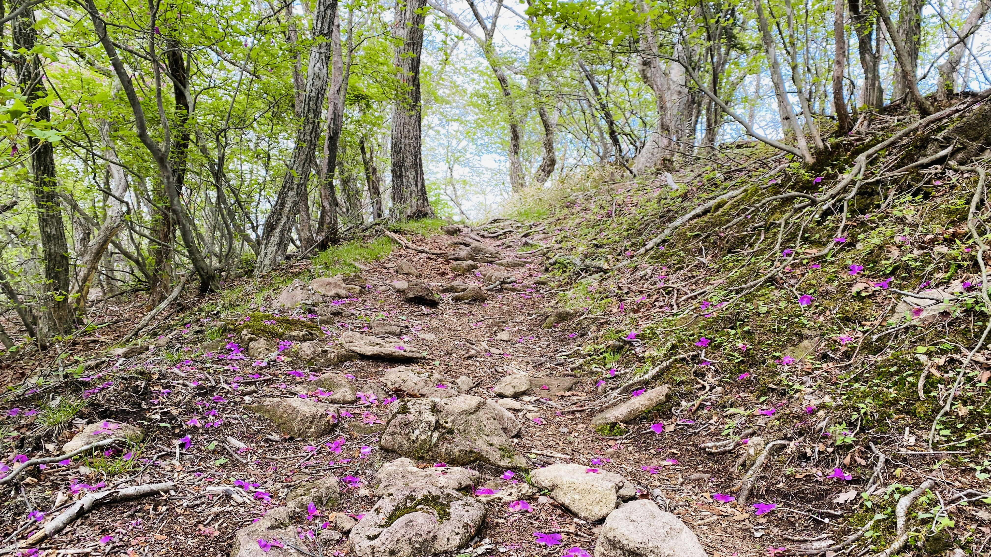 rocky path coming up to crest in trail with purple azalea petals on the ground