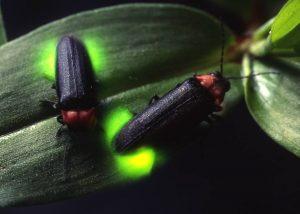 ぐんま昆虫の森「ホタル観賞会」