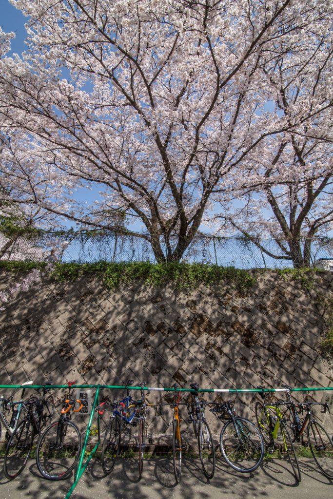 赤城南面千本桜 お花見サイクリング