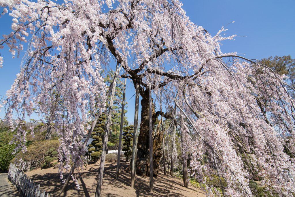 土橋のおかめ桜 3/30撮影
