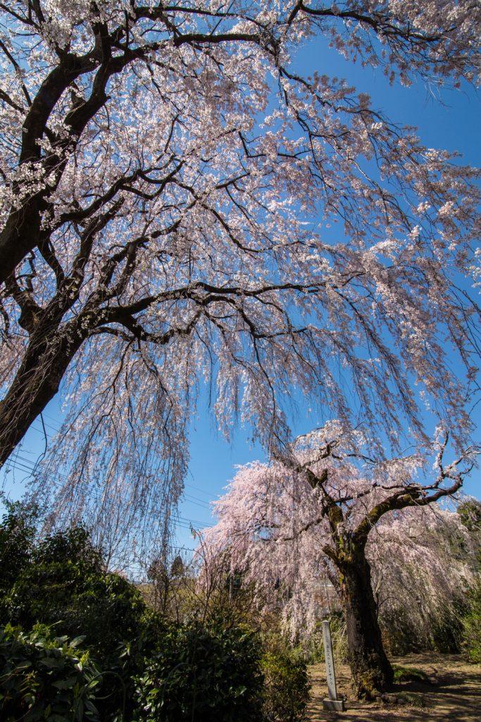 藤生沢のお角桜 3/30撮影