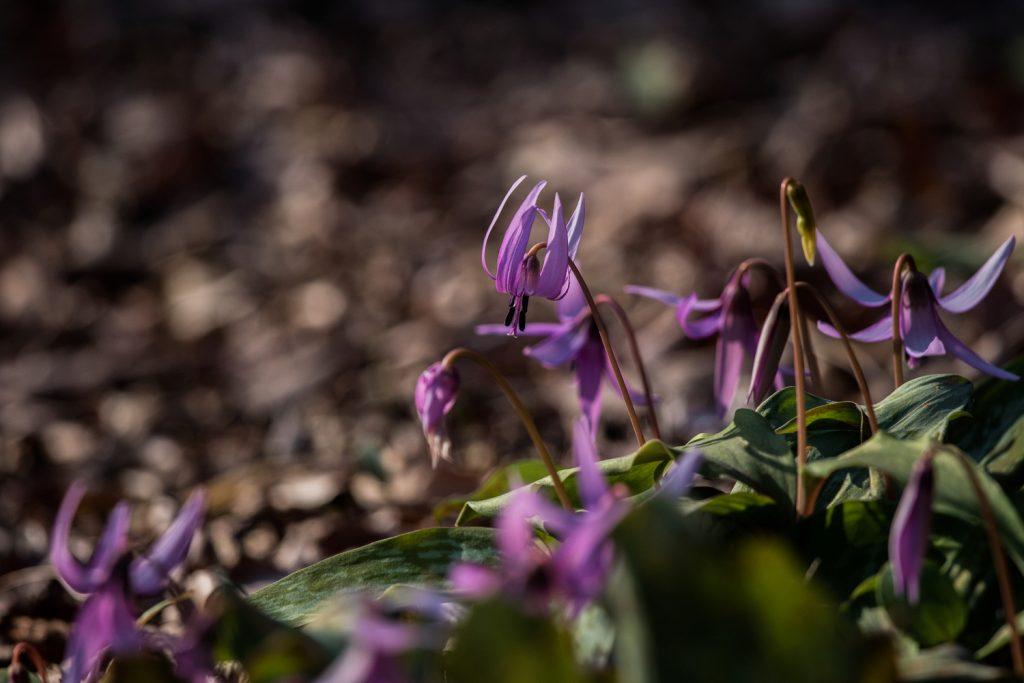 嶺公園のカタクリの花