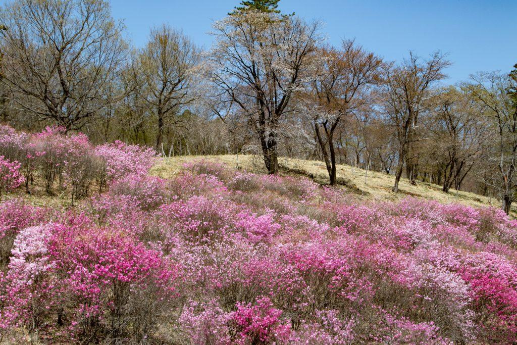 アカヤシオの丘