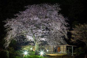 国指定重要文化財 阿久沢家住宅 桜のライトアップ